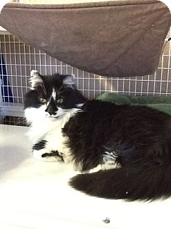 Domestic Longhair Cat for adoption in Douglas, Wyoming - Dexter