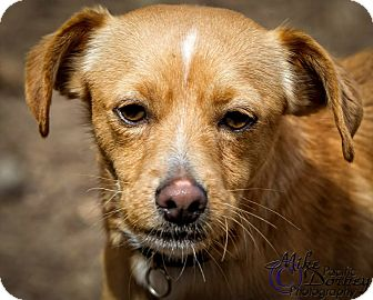 Chihuahua/Italian Greyhound Mix Dog for adoption in Westminster, California - Melvin