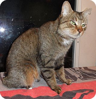 Domestic Shorthair Cat for adoption in Plano, Texas - DONOVAN - FRONT-DECLAW LOVER!!