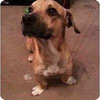 Adopt A Pet :: Napoleon - Arlington, TX