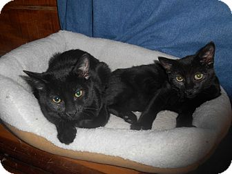 Domestic Shorthair Cat for adoption in Richland, Michigan - Fonzie and Potsy