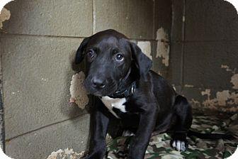 Labrador Retriever Mix Puppy for adoption in Henderson, North Carolina - Freeway