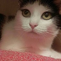 Domestic Shorthair Cat for adoption in Saranac Lake, New York - April