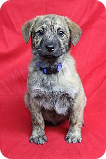 Shepherd (Unknown Type)/Retriever (Unknown Type) Mix Puppy for adoption in Westminster, Colorado - Zaccur