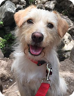 Terrier (Unknown Type, Small) Mix Dog for adoption in Encino, California - Elsa