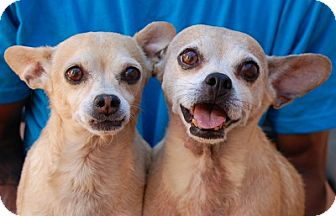 Chihuahua Mix Dog for adoption in Las Vegas, Nevada - Amber