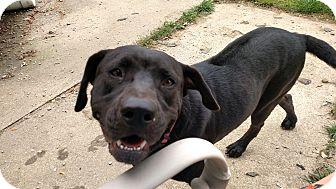 Labrador Retriever/Rhodesian Ridgeback Mix Dog for adoption in LANSING, Michigan - Charlie Girl