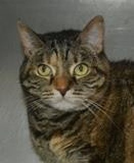 Domestic Shorthair/Domestic Shorthair Mix Cat for adoption in Columbia, South Carolina - Lola