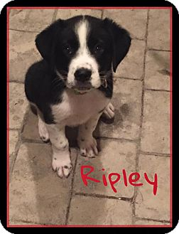 Border Collie Mix Puppy for adoption in Brunswick, Maine - Ripley