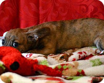Dachshund/Chihuahua Mix Puppy for adoption in Okeechobee, Florida - Myla