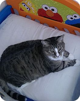 Domestic Shorthair Cat for adoption in Witter, Arkansas - Molly (no adoption fee)