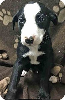 Border Collie Mix Puppy for adoption in Gahanna, Ohio - ADOPTED!!!   Italy