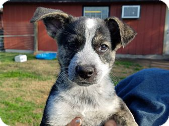 Shepherd (Unknown Type) Mix Puppy for adoption in Fort Atkinson, Wisconsin - Tipper