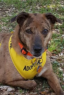 Australian Shepherd Dog for adoption in Lago Vista, Texas - Hadlee