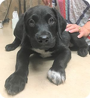 Labrador Retriever Mix Puppy for adoption in Vancouver, British Columbia - Rachelle