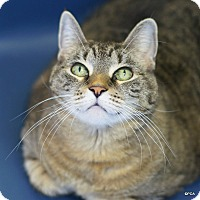 Domestic Shorthair Cat for adoption in East Hartford, Connecticut - Marge
