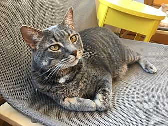 Domestic Shorthair Cat for adoption in St. Louis, Missouri - Quincy