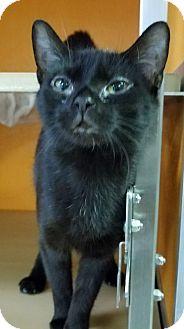 Domestic Shorthair Cat for adoption in Elyria, Ohio - Clara
