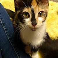 Adopt A Pet :: Betty Rubble - Garden City, MI