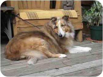 Sheltie, Shetland Sheepdog Dog for adoption in Trabuco Canyon, California - Leila