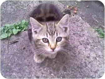 Domestic Shorthair Kitten for adoption in Syracuse, New York - Up and Coming