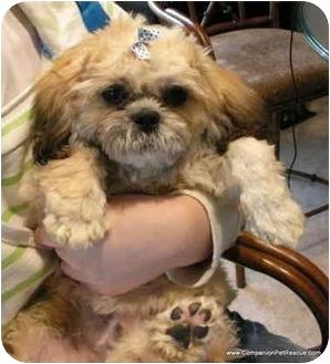 Lhasa Apso/Pekingese Mix Puppy for adoption in North Kansas City, Missouri - Adoption Pending