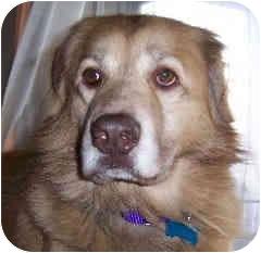 Golden Retriever/Anatolian Shepherd Mix Dog for adoption in Avon, New York - Gage