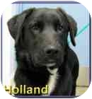 Labrador Retriever Mix Dog for adoption in Aldie, Virginia - Holland