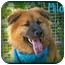 Photo 1 - Golden Retriever/Chow Chow Mix Puppy for adoption in San Pedro, California - Milo