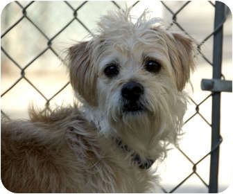 Terrier (Unknown Type, Small) Mix Dog for adoption in Sacramento, California - Rosco