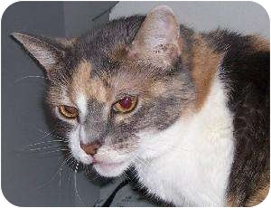 Domestic Shorthair Cat for adoption in Schertz, Texas - Daisy H