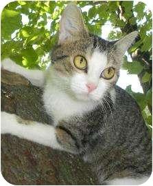 Domestic Shorthair Cat for adoption in Lancaster, Ohio - Minnie