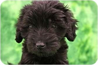 Poodle (Miniature)/Schnauzer (Miniature) Mix Puppy for adoption in Broomfield, Colorado - Blackhawk