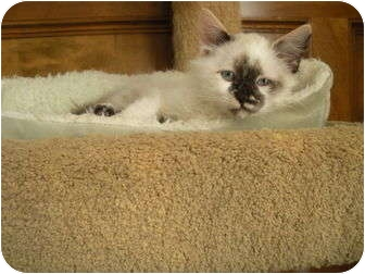 Ragdoll Kitten for adoption in Huffman, Texas - Paisley