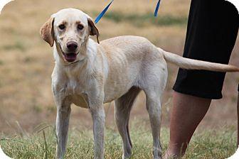 Labrador Retriever Mix Dog for adoption in McKinney, Texas - Asiago