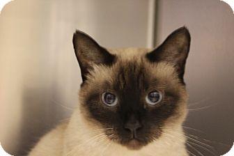 Siamese Cat for adoption in HARRISONVILLE, Missouri - Pong