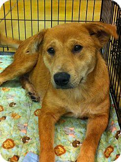 Shepherd (Unknown Type)/Labrador Retriever Mix Dog for adoption in Gainesville, Florida - Winnie