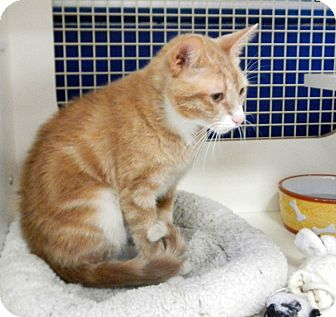 Domestic Shorthair Cat for adoption in Troy, Michigan - Creme