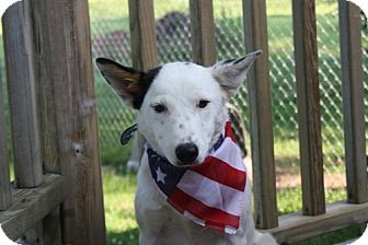 Australian Cattle Dog/Blue Heeler Mix Dog for adoption in Marietta, Georgia - Ryleigh