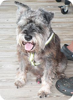 Schnauzer (Standard) Mix Dog for adoption in Nashville, Tennessee - Joey (Reduced Fee)