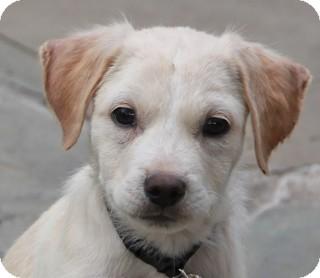 Labrador Retriever Mix Puppy for adoption in Norwalk, Connecticut - Carolina