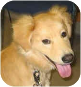 Golden Retriever Puppy for adoption in Cleveland, Ohio - Zeke