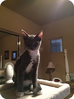Domestic Shorthair Kitten for adoption in Higley, Arizona - JACK