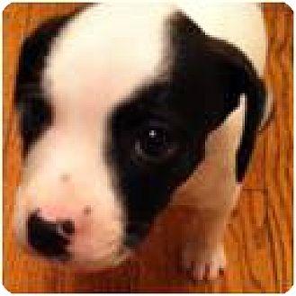 Boxer/Labrador Retriever Mix Puppy for adoption in Beachwood, Ohio - Sunshine