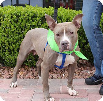 American Staffordshire Terrier Mix Dog for adoption in Las Vegas, Nevada - KORRA (CAT FRIENDLY)