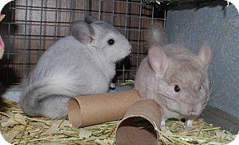 Chinchilla for adoption in Hammond, Indiana - 3 mo beige chinchilla kit