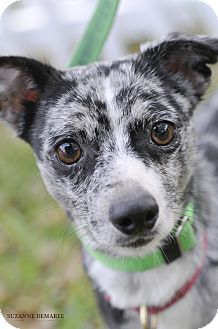Jack Russell Terrier/Cattle Dog Mix Dog for adoption in Allentown, Pennsylvania - Angelo