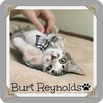 Domestic Shorthair Kitten for adoption in Cleburne, Texas - Burt Reynolds