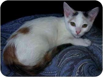 Calico Kitten for adoption in Irvine, California - Cora