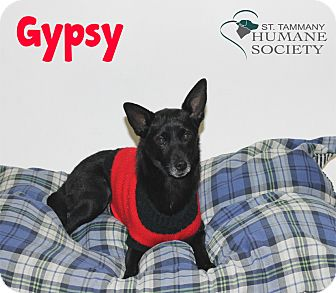 Toy Fox Terrier Mix Dog for adoption in Covington, Louisiana - Gypsy